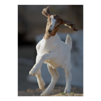 Kid goat playing in ground. poster