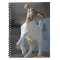 Kid goat playing in ground. spiral notebook