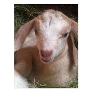 Kid Goat Postcard