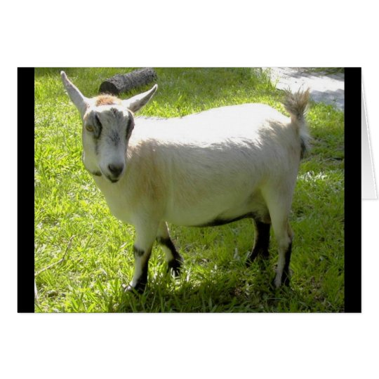 Kiki the Pygmy Goat greeting card