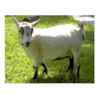 Kiki the Pygmy Goat post card