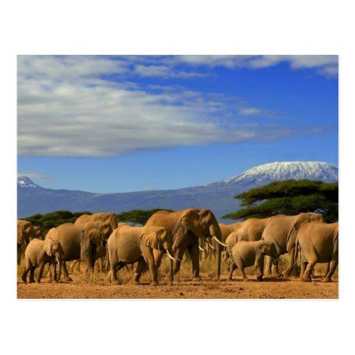 Kilimanjaro y elefantes tarjeta postal