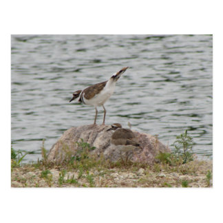 Killdeer at the Lake Postcard