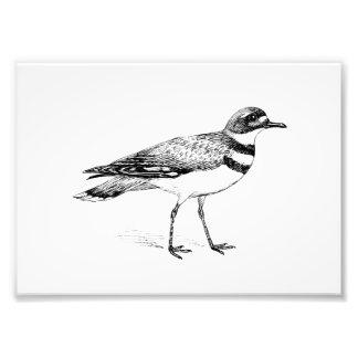 Killdeer Bird Sketch Photo