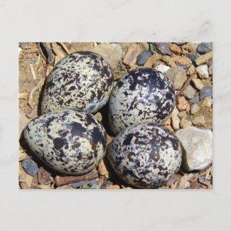 KillDeer Nest With Eggs postcard