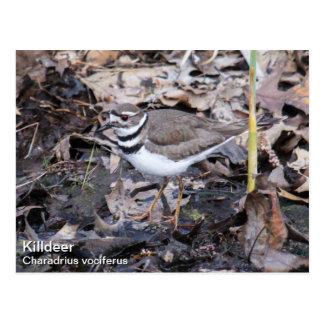 Killdeer Postcard