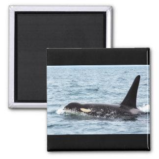 Killer Orca Male Whale San Juan Island Magnet