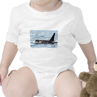 Killer Orca Male Whale San Juan Island Creeper