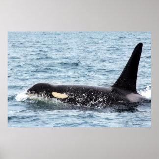 Killer Orca Male Whale SanJuanIsland Large Poster