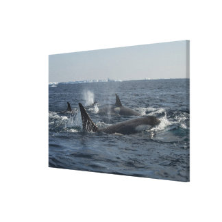 killer whale stretched canvas prints