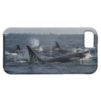 killer whale iPhone SE/5/5s case