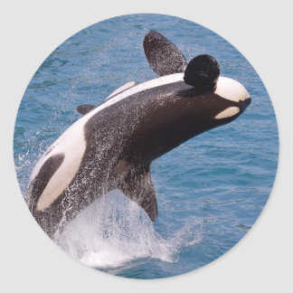 Killer whale jumping out of water classic round sticker