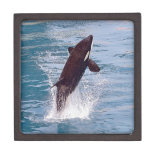 Killer whale jumping out of water gift box