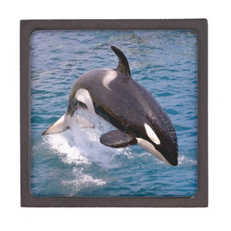 Killer whale jumping out of water keepsake box