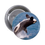 Killer whale jumping out of water pinback button