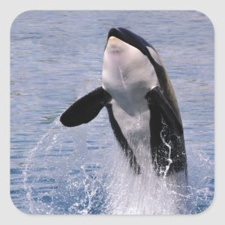 Killer whale jumping out of water square sticker