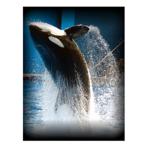 Killer Whale Jumping Post Cards