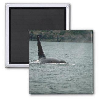 Killer Whale-large male swimming at surface Magnets