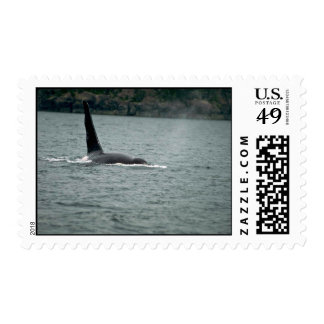Killer Whale-large male swimming at surface Stamp