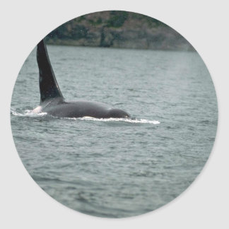 Killer Whale-large male swimming at surface Round Sticker