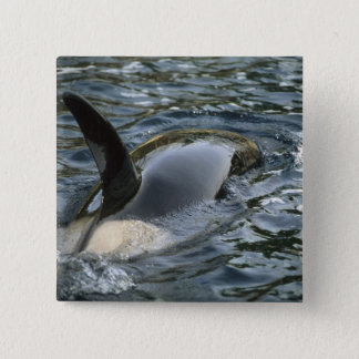 Killer Whale, Orca, Orcinus orca), adult Button