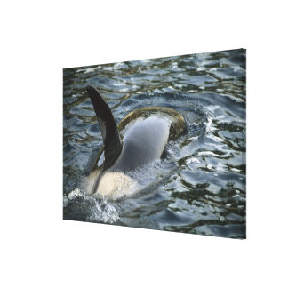 Killer Whale, Orca, Orcinus orca), adult Canvas Print