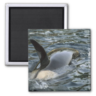 Killer Whale, Orca, Orcinus orca), adult Refrigerator Magnets