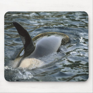 Killer Whale, Orca, Orcinus orca), adult Mouse Pad