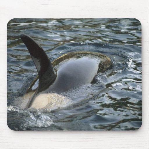 Killer Whale, Orca, Orcinus orca), adult Mousepads