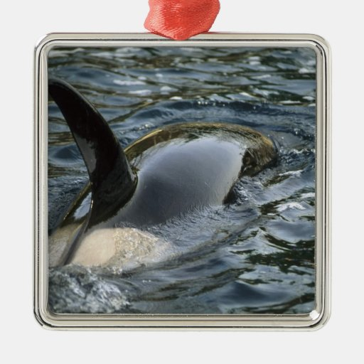 Killer Whale, Orca, Orcinus orca), adult Square Metal Christmas Ornament
