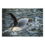 Killer Whale, Orca, Orcinus orca), adult Photo Art