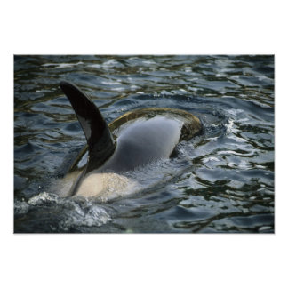Killer Whale, Orca, Orcinus orca), adult Poster