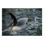 Killer Whale, Orca, Orcinus orca), adult Posters