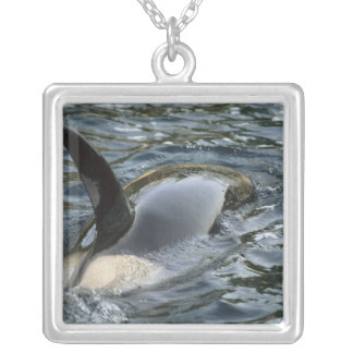 Killer Whale, Orca, Orcinus orca), adult Silver Plated Necklace