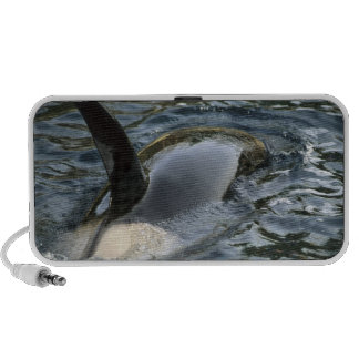 Killer Whale, Orca, Orcinus orca), adult Travelling Speakers