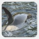 Killer Whale, Orca, Orcinus orca), adult Square Sticker