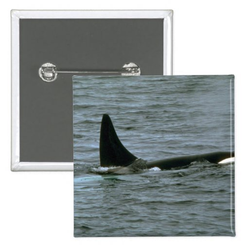 Killer whale pinback buttons