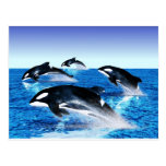 Killer Whale Pod Postcard