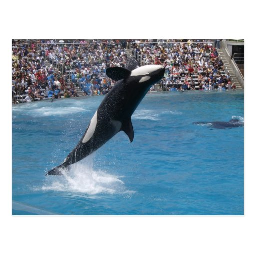Killer Whale Postcards