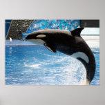 Killer Whale Print