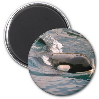 Killer whale swimming 2 inch round magnet