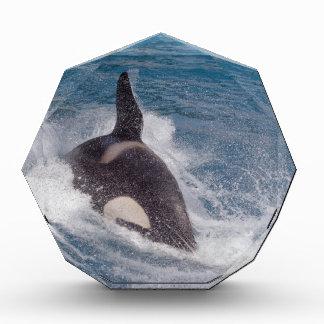 Killer whale swimming fast acrylic award