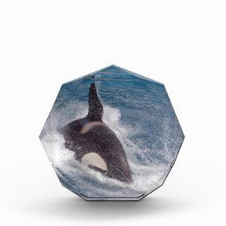 Killer whale swimming fast award