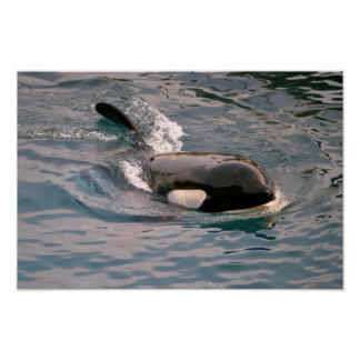 Killer whale swimming poster