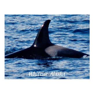 Killer Whale Tale of the Dorsal fin Alaska Postcar Postcard