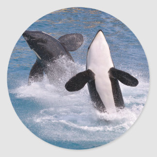 Killer whales jumping out of water classic round sticker