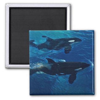 Killer Whales Magnet