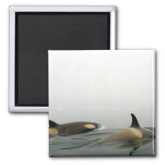 killer whales (orcas), Orcinus orca, pod 2 2 Inch Square Magnet