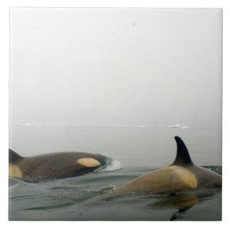 killer whales (orcas), Orcinus orca, pod 2 Ceramic Tile