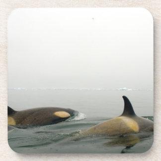 killer whales (orcas), Orcinus orca, pod 2 Coaster